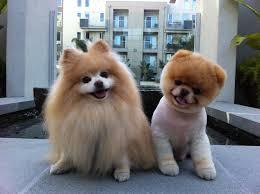 summer haircut pomeranian time 4 dogs summer haircuts
