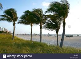 palm trees blowing in the south miami florida