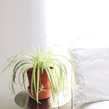 Spider Plant Five Plants To Keep You Company In The Bedroom U2014 Rogue Wood Supply