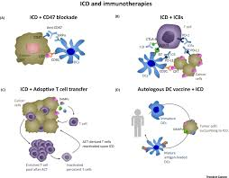 the unfolded protein response in immunogenic cell death and cancer