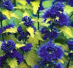 Bluebeard Flower - amazon com sunshine blue tm caryopteris incana u0027jason u0027 ppaf