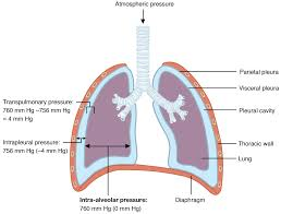 Anatomy And Physiology Of Copd The Process Of Breathing Anatomy And Physiology