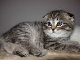 photo kitty cat scottish fold cats animals