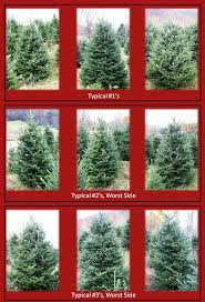 fraser fir christmas tree frosty mountain christmas trees wholesale information