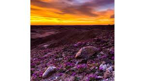 anza borrego super bloom california desert s wildflower super bloom delights nature lovers