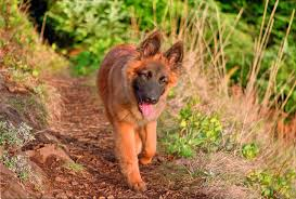 belgian shepherd how much growing up