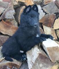 belgian shepherd rescue qld 70 best working breeds images on pinterest animals belgian