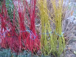 arbuste feuillage pourpre persistant meilleurs arbustes de jardin arbustes à feuillage décoratif et
