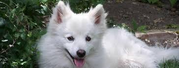 american eskimo dog yahoo american eskimo dog breed guide learn about the american eskimo dog