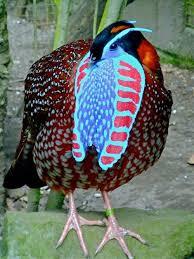temminck tragopan pheasant temmincks tragopan ornamental