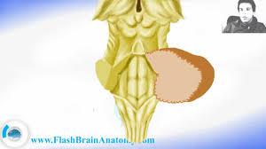Brain Stem Anatomy Brainstem Anatomy With Diencephalon Youtube
