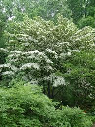 Wildfire Black Gum Tree by Kousa Dogwood Garden Housecalls