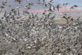 bar tailed godwit new zealand birds online