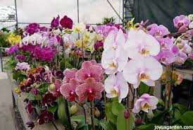orchids pictures how often to water your phalaenopsis orchids plus all the things