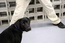 Black Lab Meme - lulu a failed cia bomb sniffing dog becomes twitter meme