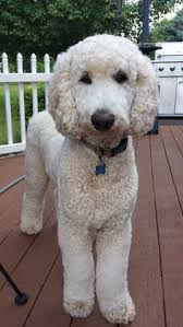 standard poodle hair styles sunny side of life standard poodles pinterest poodle and
