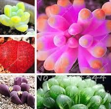 100 pcs sempervivum mix succulent flower seeds tropical
