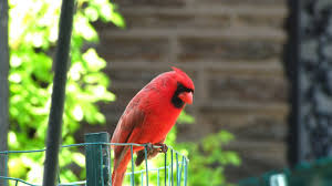 how a cardinal makes his red feathersin season