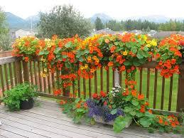 glorious nasturtiums plant box walkways and seeds