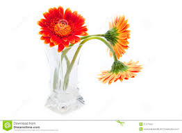 Flowers Glass Vase Gerbera Flowers In The Glass Vase Stock Images Image 36310694
