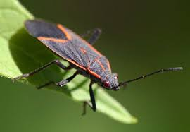 Small Black Flying Bugs In Bathroom Keep Black And Red Boxelder Bugs Out Of Your Home