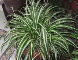 plants native to africa gardening in africa hen and chickens chlorophytum comosum