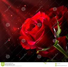 red rose st valentine u0027s day royalty free stock image image