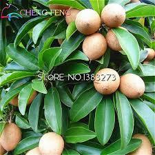 big discount 20 pieces a bag sapodilla seeds bonsai plants tree