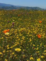 los angeles native plants wildflowering la