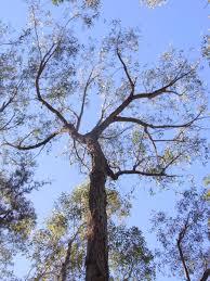blue mountains native plants eucalyptus eugenioides wikipedia