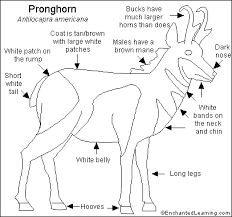 pronghorn printout enchantedlearning com grasslands pinterest