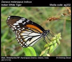 danaus melanippus white tiger butterflies of india