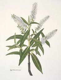 native new zealand plants list māori medicine te papa