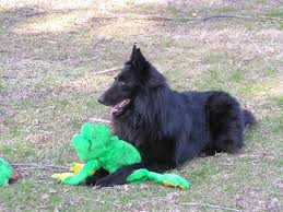 belgian sheepdog rescue ohio mi kel u0027s belgian sheepdogs