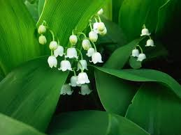 Lily Of The Valley Flower 11 Lily Of The Valley Hd Wallpapers Backgrounds Wallpaper Abyss