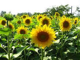 foto wallpaper bunga matahari sun flower flowers world