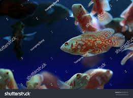 ornamental fish map fish stock photo 533325151