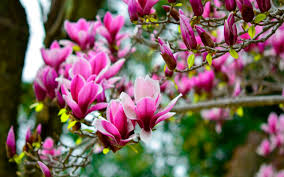 Magnolia Wallpaper Magnolia Flower Wallpaper Images Of Flowers Images Flower Pictures