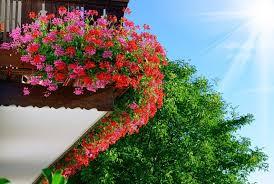 geranien balkon die 11 schönsten balkonpflanzen moebeltipps ch