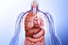 Pictures Of The Anatomy Of The Human Body Learn About The Organ Systems In The Human Body
