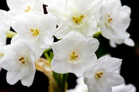 paperwhite flowers gardening tip use to keep paperwhites erect