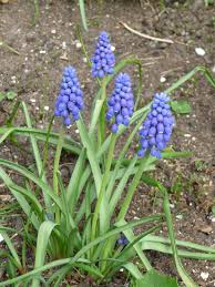 transplanting grape hyacinth bulbs u2013 when and how to transplant