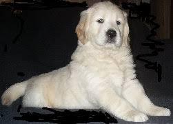 golden retriever puppies ca