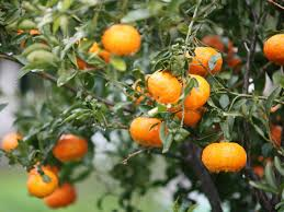 orange tree origin history cultivation health benefits facts etc