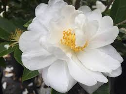 fall blooming flowers winter u0027s snowman camellia fall blooming camellia with small white