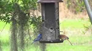 How To Attract Indigo Buntings To Your Backyard Indigo Bunting Blue Grosbeak Cardinal Share Feeder Youtube