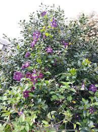 clematis garden org