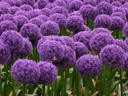 growing elusive ornamental alliums the flower requires a never