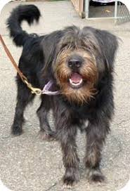 bearded collie adoption choco adopted dog carmel ny collie bearded collie mix