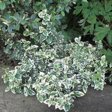 arbuste feuillage pourpre persistant arbustes à feuillages colorés pour pot plantes et jardins